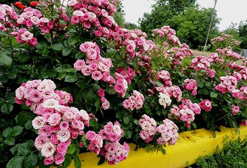 Цветущие кусты бордюрной розы