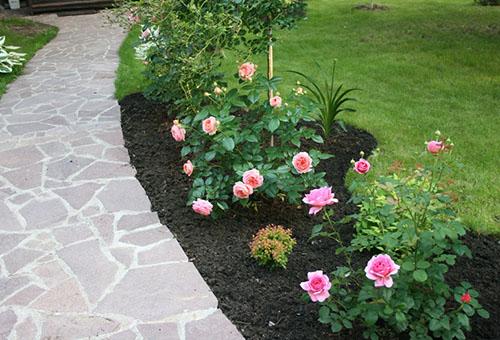 Молодые кустики бордюрной розы