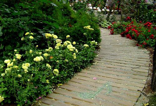 Бордюрные розы разных сортов