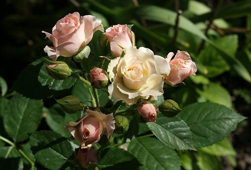 Цветущая ветвь миниатюрной розы