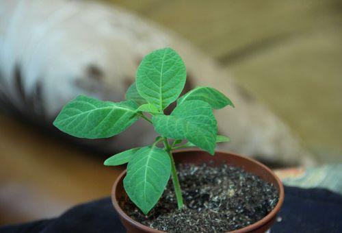 росток из семян в горшке