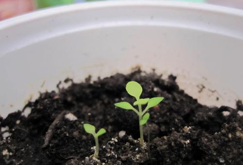 размножение растения семенами