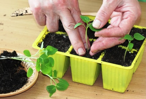 размножение растения семенами и посадка
