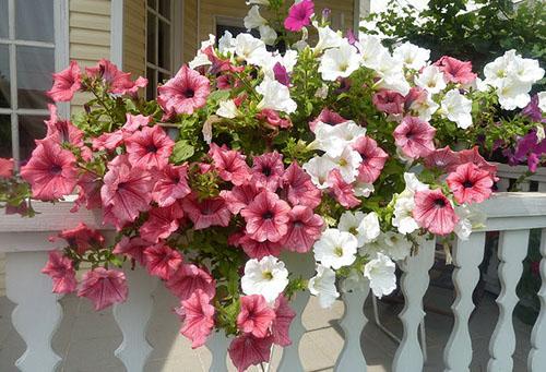 Белые и розовые цветы в кашпо