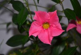 Розовый цветок дипладении