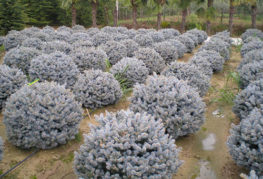 Шаровидные голубые ели Глаука глобоза