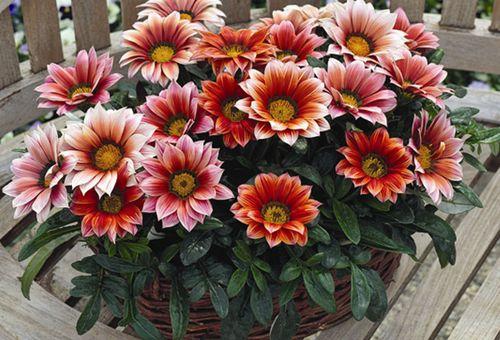 Цветы Газании