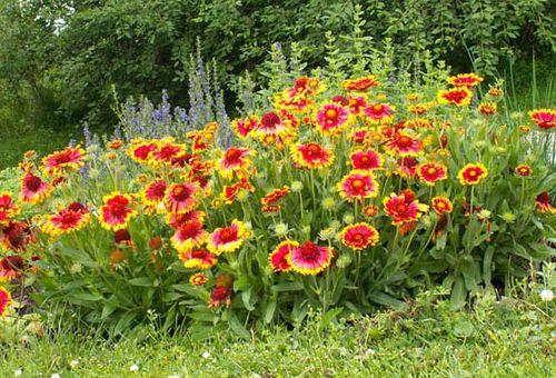 Размножение цветов делением кустов