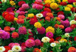 Разноцветные георгины