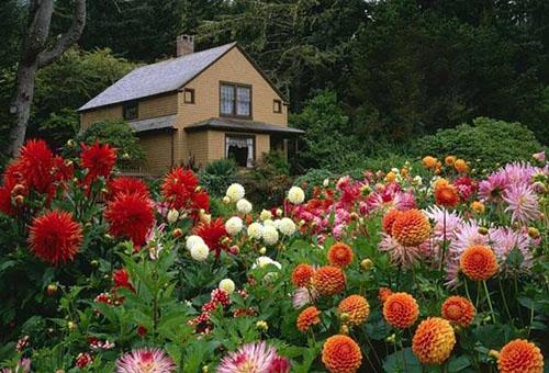 Цветущие георгины у частного дома