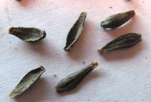 Семена георгины