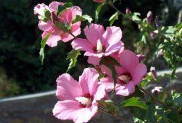 Цветки садового гибискуса