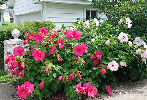 Белый и розовый садовый гибискус