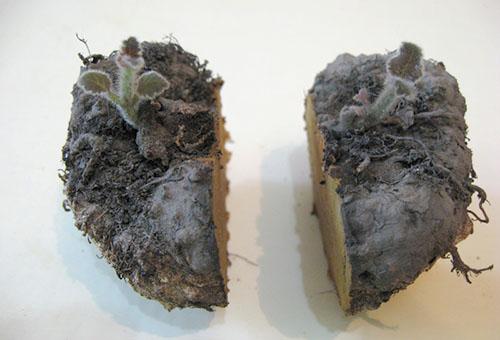 Размножение глоксинии делением клубня