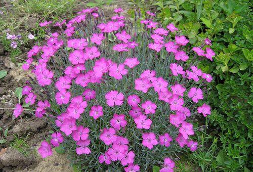 цветки альпийские