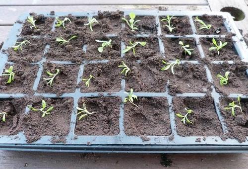 Выращивание гвоздики семенами