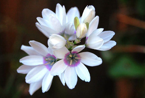Цветы белой иксии