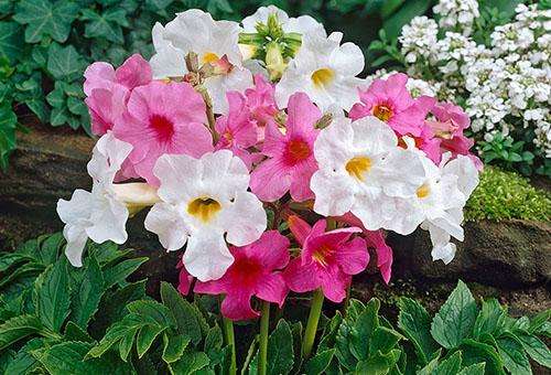 Инкарвиллея белая и розовая