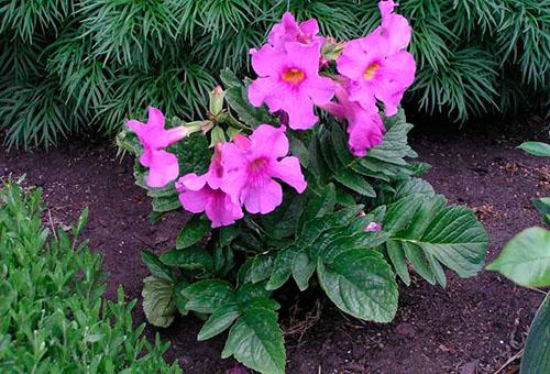 Розовая инкарвиллея
