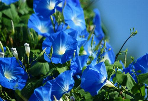 Голубые цветки ипомеи