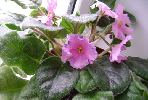 Цветущая розовая фиалка