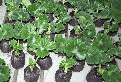 Выращивание пеларгонии из семян