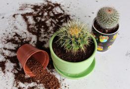 Пересаживание кактусов