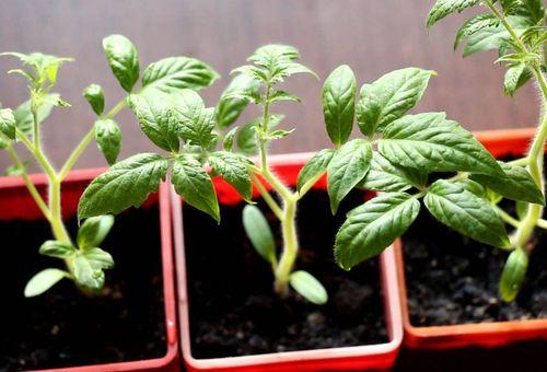 Уход за ростками томатов