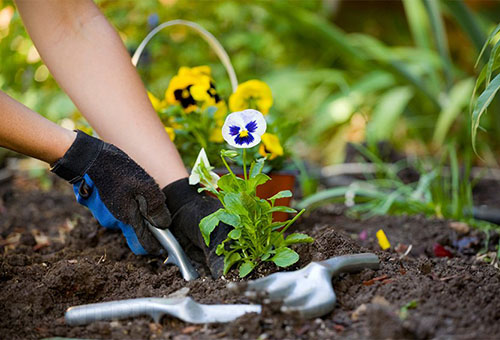 Посадка садовой фиалки
