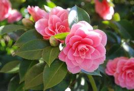 Цветы садовой камелии