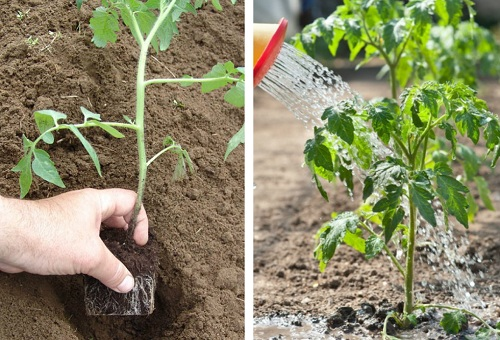 Пересадка растения в грунт