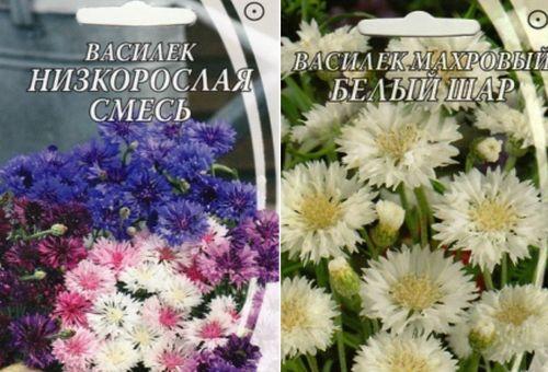 vasilek-maxrovyj_6