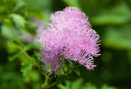 Садовое растение
