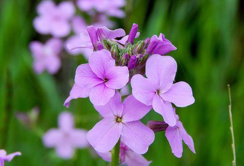 Цветок гесперис
