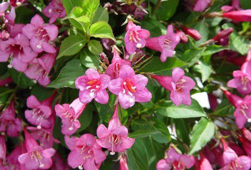 розовые цветки Ева Ратке