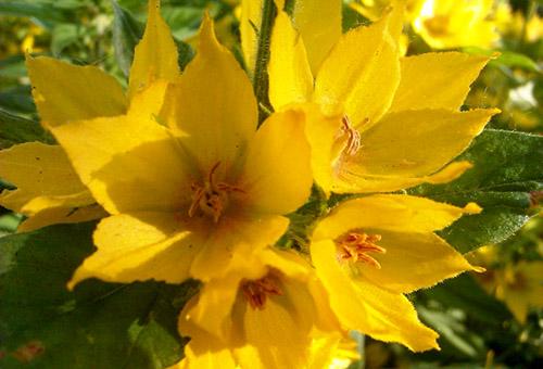 Цветы точечного вербейника