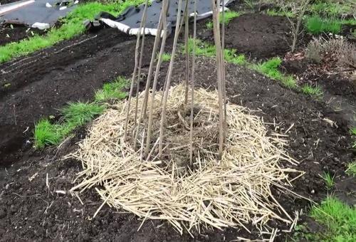 Вигна овощная в огороде