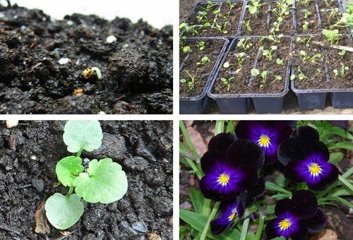 violy-cvety-vyrashhivanie-iz-semyan_2