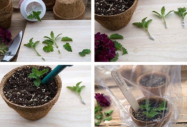 выращивание цветов черенкованием