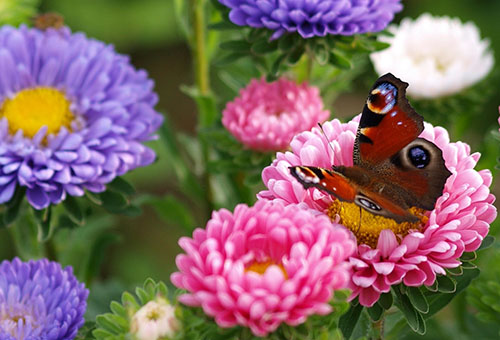 Бабочка на цветке астры