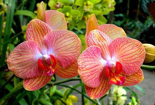 Цветки орхидеи