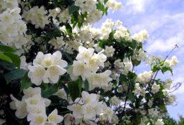 Цветущий жасмин садовый