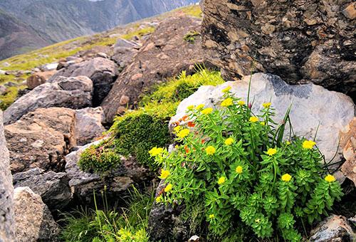 Золотой корень в естественной среде