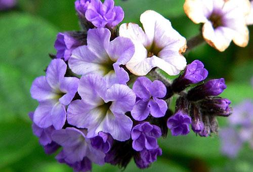 Цветок гелиотропа