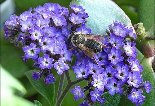 Пчела на гелиотропе