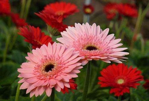 Розовые и красные герберы