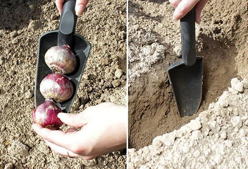 Высаживание луковиц гиацинта