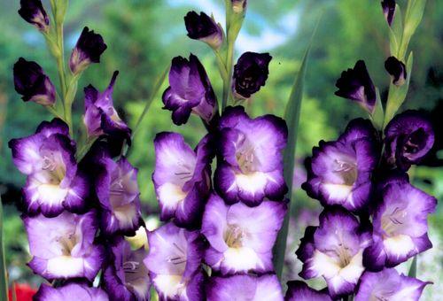 Сиреневые цветы гладиолусы