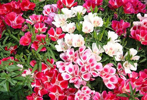Цветущая годеция разных сортов