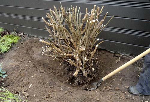 Выкапывание куста гортензии на зиму